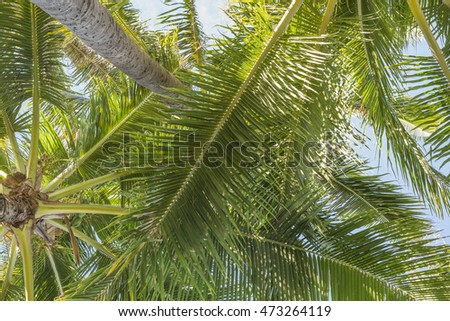 Upward view of a Hawaiian coconut palm tree grove.