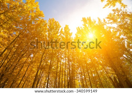 Upward view of Fall Aspen Trees, filtered sunlight , Leh District in the state of Jammu and Kashmir, India. - stock photo