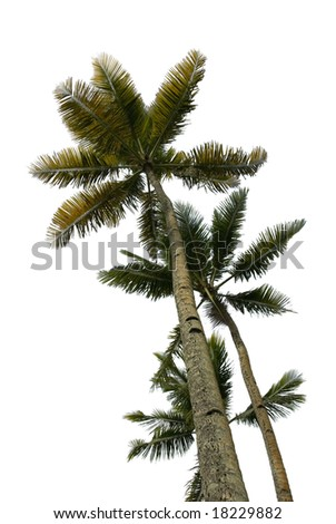 Upward view of multiple tropical palm trees isolated on white - stock photo