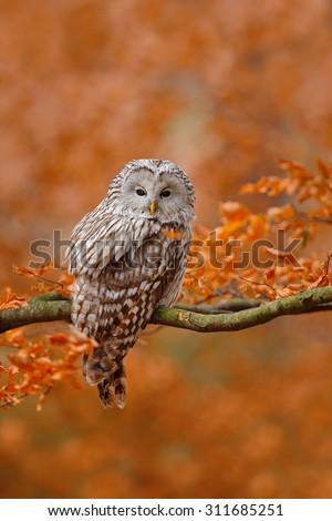 Ural Owl, Strix uralensis, sitting on tree branch, at orange leaves oak forest - stock photo