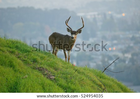 Urban Black-tailed  deer in Hayward, CA