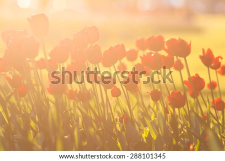 Urban flower bed of red tulips backlit - stock photo