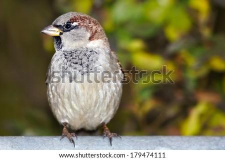 urban sparrow - stock photo