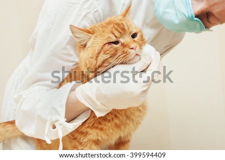 urgent care  in the veterinary clinic.Sick red cat. - stock photo