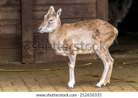 Urial bukhara on the ground - stock photo