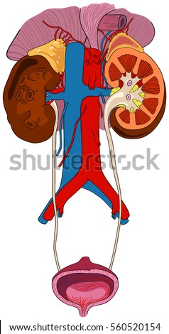Urinary Renal System Human Body Anatomy Stock Illustration 560520154 ...