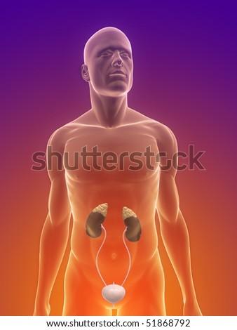 urinary system - stock photo