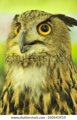 uropean eagle owl - stock photo