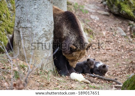 Ursus Arctos in the wood