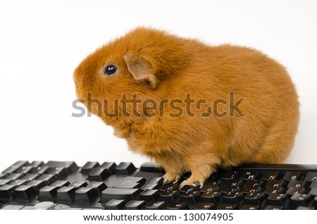 US-Teddy Guinea online - stock photo