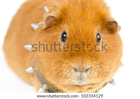 us-teddy guinea with studded collar - stock photo