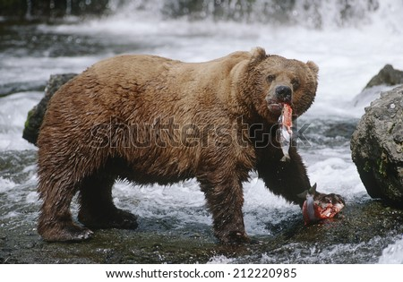 USA, Alaska, Katmai National Park, Brown Bears eating Salmon river, side view - stock photo