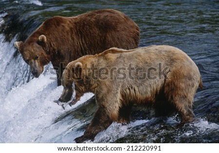 USA, Alaska, Katmai National Park, two Brown Bears catching Salmon standing in river above waterfall, side view