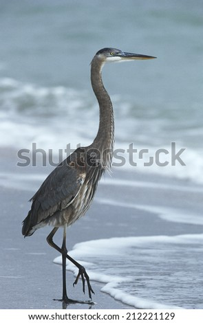 USA, Florida, Sanibel Island, Great Blue Heron on beach, side view - stock photo