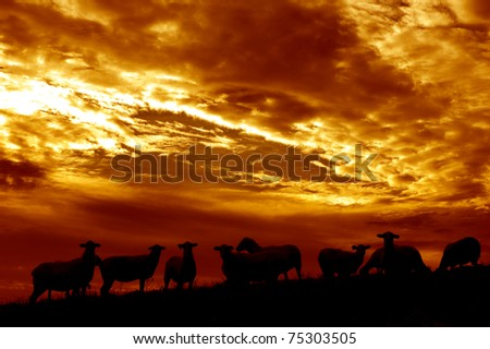 USA, West Virginia, Webster County, Family farm, sheep at sunrise