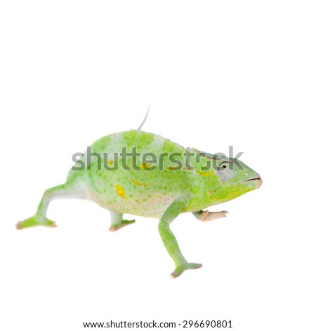 Usambara giant three-horned chameleon, Chamaeleo deremensis, female isolated on white