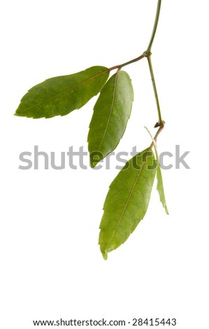 useful design element- Isolated young green leaves