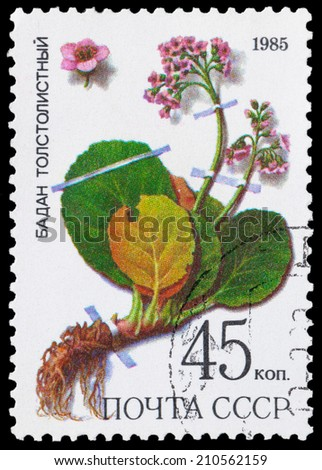 USSR - CIRCA 1985: a stamp from USSR, shows medicinal plant from Siberia - Badan, circa 1985. - stock photo