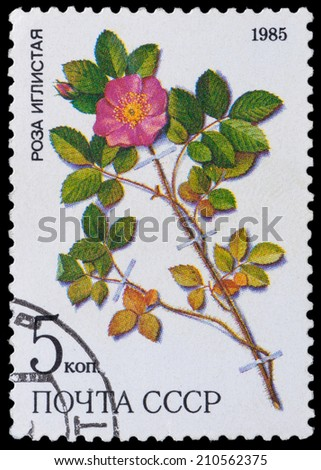 USSR - CIRCA 1985: a stamp from USSR, shows medicinal plant from Siberia rose iglistaya, circa 1985. - stock photo