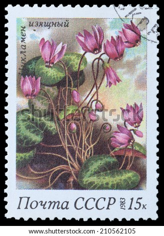 USSR - CIRCA 1983: A stamp printed in USSR,  shows a cyclamen elegant, from the series Spring Flowers, circa 1983 - stock photo
