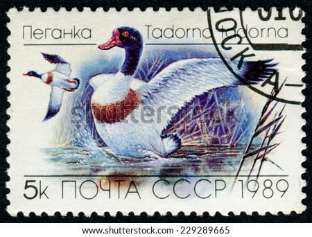 USSR- CIRCA 1989: A stamp printed in USSR - Tadorna tadorna duck, circa 1989 - stock photo