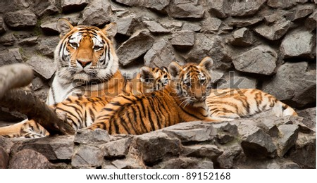 ussuri tigers family mother and two child - stock photo