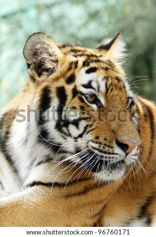 Ussuriisk tiger - stock photo
