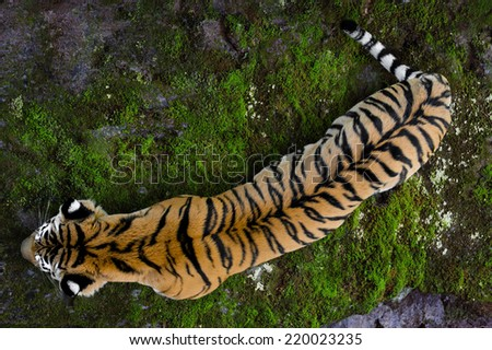 Ussuriyrsky tiger most northern tiger - stock photo