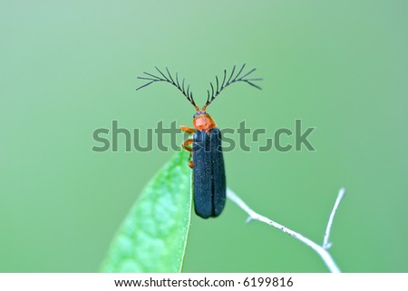 Usual Firefly, Pterotus obscuripennis, with large antennae