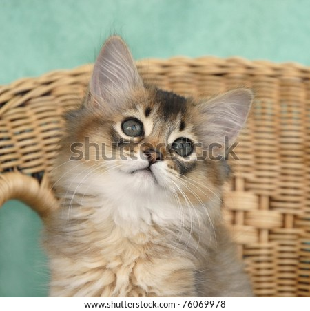 Usual Somali kitten portrait - stock photo