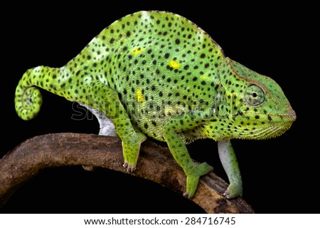 Usumbara giant chameleon (Trioceros demerensis) - stock photo