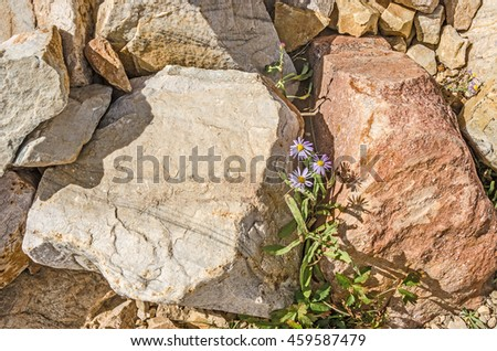Utah Daisy (Erigeron Utahensis) is a wildflower that is part of the Aster Family.  The purple and yellow contrast nicely with the rocks.