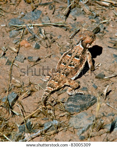 Utah horned (horny) toad lizard Phrynosoma platyrhinos - stock photo