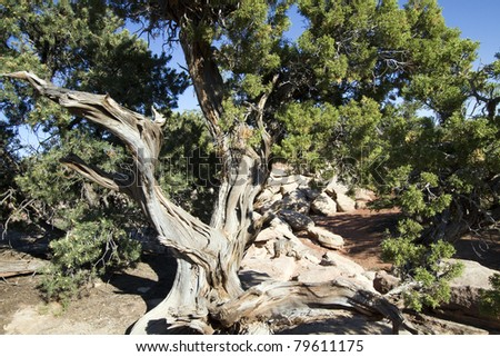 Utah Juniper at Canyonlands National Park in Utah