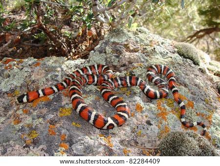 Utah Mountain Kingsnake (King Snake), Lampropeltis pyromelana infralabialis - stock photo