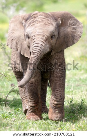 ute baby elephant calf in this portrait image from South Africa - stock photo