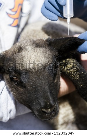 Vaccination of suffolk lambs on a local farm . - stock photo