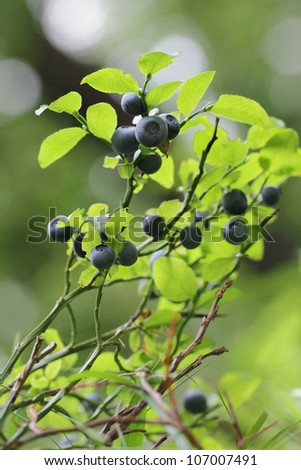 Vaccinium myrtillus - bilberry, blueberry - stock photo