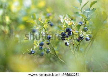 Vaccinium myrtillus (bilberry); macro shot - stock photo