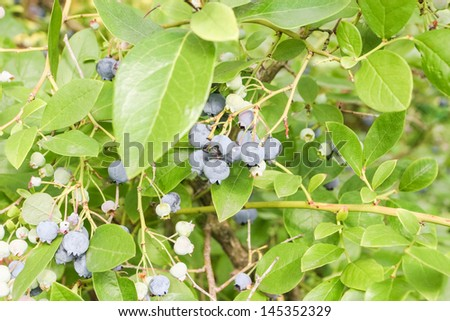 Vaccinium myrtillus is a species of shrub with edible fruit of blue color, commonly called European blueberry. - stock photo