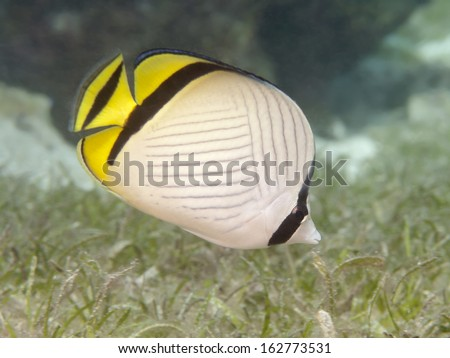 Vagabond butterflyfish in Bohol sea, Phlippines Islands - stock photo