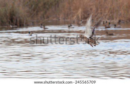valence ducks in pond - stock photo