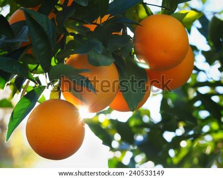 Valencia Orange Morning Sunshine - stock photo