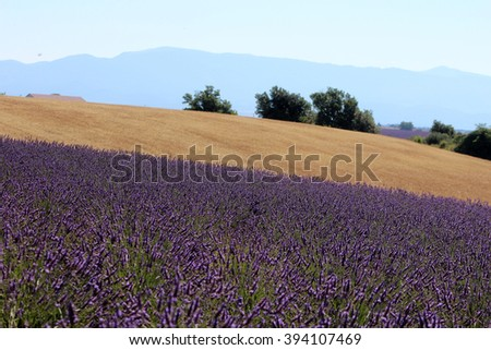 VALENSOLE,  FRANCE - CIRCA JULY 2015:  a flowering lavender field in Provence.