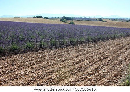 VALENSOLE, FRANCE - JULY 2015: a panoramic view of a blooming lavender field in Provence. - stock photo