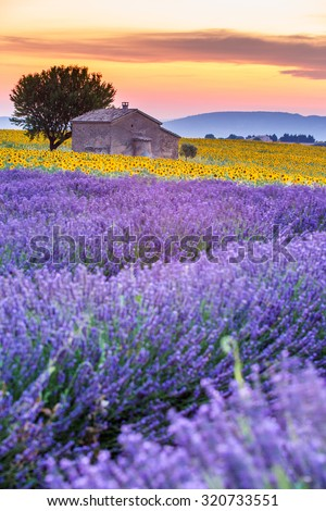 Valensole Plateau, Lavender and sunflower fields with lonely farmhouse at sunset, France - stock photo