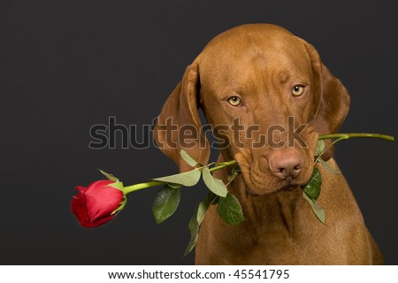 valentine dog holding a stem of rose in mouth