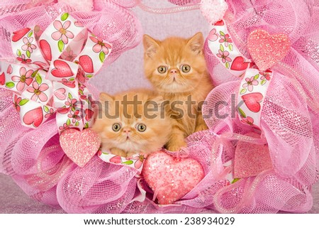 Valentine Exotic kittens sitting inside pink Valentine wreath on pink background  - stock photo