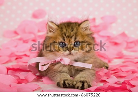 Valentine kitten with pink rose petals - stock photo