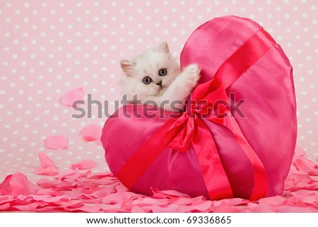 Valentine Mother Day Chinchilla kitten holding huge pink heart cushion - stock photo
